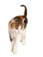 spräcklig katt i studio med vit bakgrund