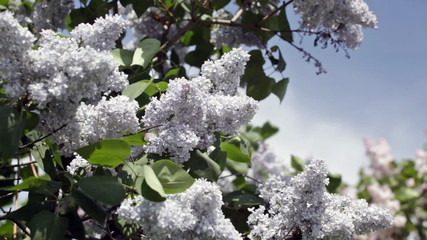 Blossoming blue lilac against the clear sky