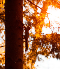 Red squirrel running up the tree trunk