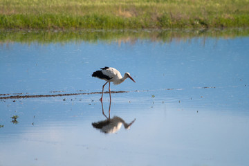 Hunting Stork in the Water