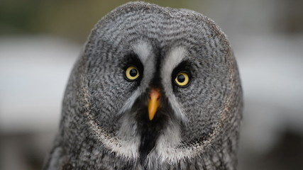 Ural owl looking around