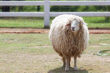 face of merino sheep in ranch farm