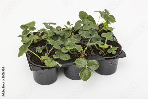 Frühjahrsanbau - Erdbeerepflanzen Fragaria - 80016954