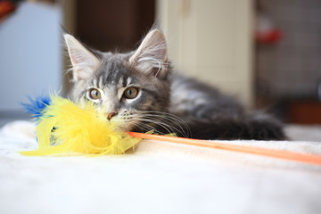 Portrait of blue tabby color Maine coon kitten
