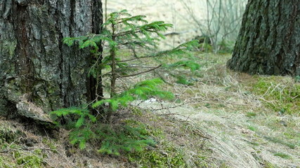 Young Fir Tree Swaying in a Strong Wind