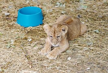 Lion cub,  Safari Park Taigan, Crimea.