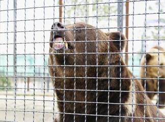 Furious brown bear,Safari Park Taigan, Crimea