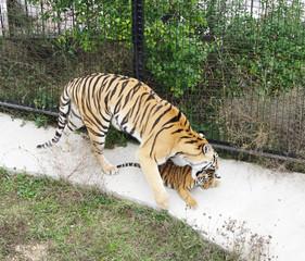 Tigress grasp cub, Safari Park Taigan, Crimea.