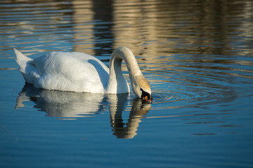 white swan on autumnal blue pond