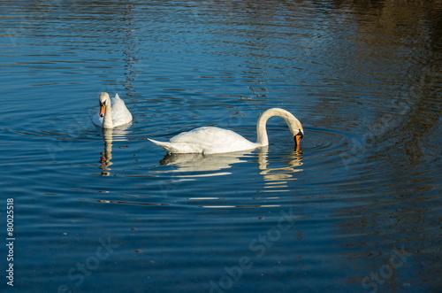 Foto op Plexiglas Zwaan two white swan on autumnal blue pond