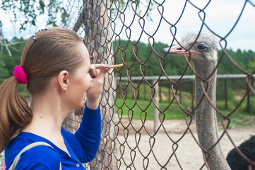 feeding ostrich