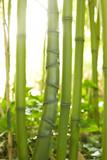 Bambusstamm mit unregelmäßige Rhizome