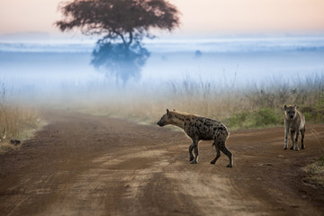 Hyenas before dawn