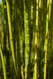 Bambusstamm mit unregelmäßige Rhizome 2