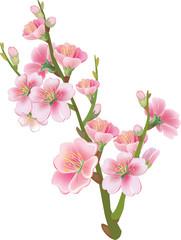 Flowering branch of sakura