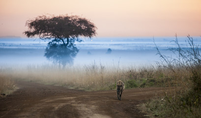 hyena before dawn with fog