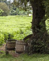 baskets full of freshly picked tea