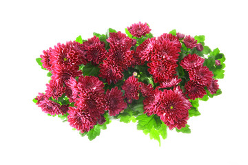 Bouquet of Chrysanthemums Isolated