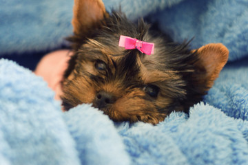 Yorkshire Terrier puppy sleeping