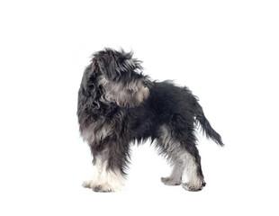 zwergschnauzer puppy