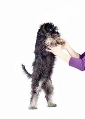 zwergschnauzer puppy in hands