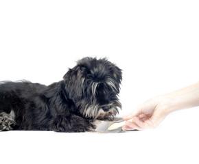 shnauzer puppy and groomer hand