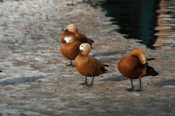 ogar ducks on a snow having rest