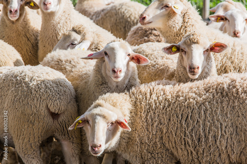 Papiers peints Sheep herd of white sheep
