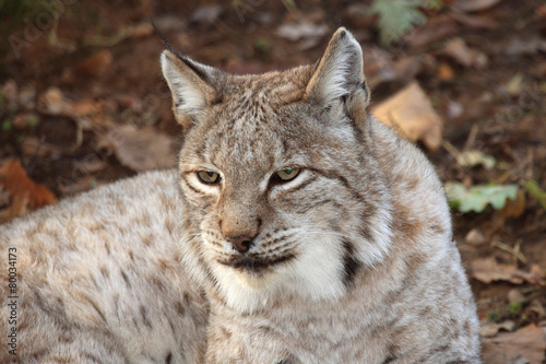 Papiers peints Puma lince europea mammifero selvaggio carnivoro predatore