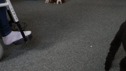 Assistance dog helps undress sock on the foot