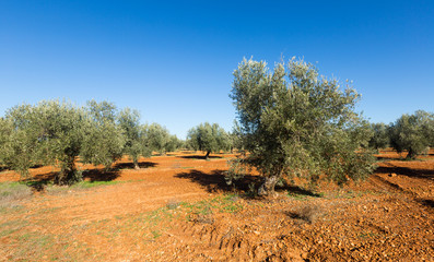 Olives field