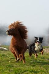 Pony galoppiert mit Hund