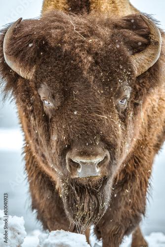 Aluminium Buffel American Bison Portrait