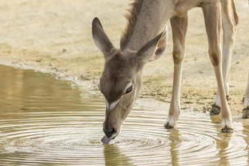 Female Greater Kudu drinking water
