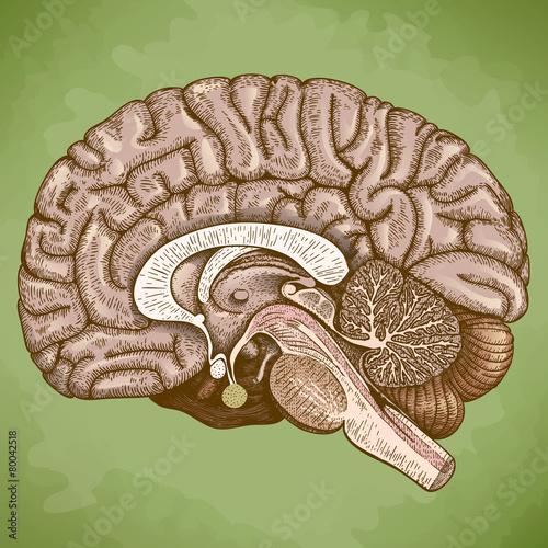 engraving antique illustration of human brain - 80042518