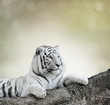 White Tiger - 80043113