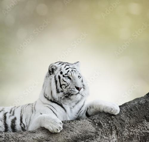 Tuinposter Tijger White Tiger