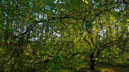 Early Autumn Forest In The Sunlight. Tracking Shot