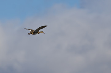 Lone Gadwall Flying Above the Clouds