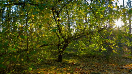 Autumn Forest In The Sunlight. Tracking Shot