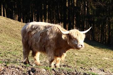 kyloe schottisches hochlandrind II