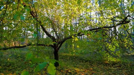 Autumn Forest In Bright Colors. Tracking Shot