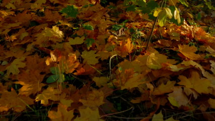 Yellow Autumn In Deciduous Tree Forest