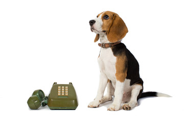 beagle dog is waiting for the phone ring in white background