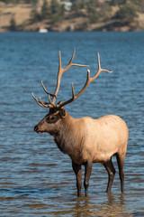 Rutting Bull Elk in Lake