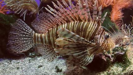 Lionfish Full Body Shot