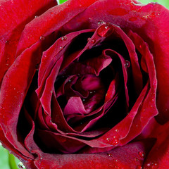 Close-up view of beatiful dark red rose