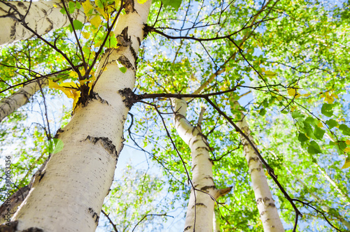 Green birch in spring forest Plakat