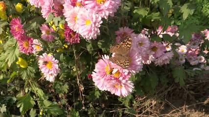 Honeybee & butterfly sucking the flower nectar