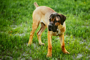 Cane Corso Whelp Puppy Standing On Green Grass